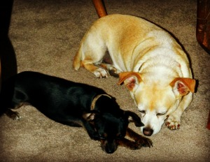 My precious chihuahuas Coco and Bebo