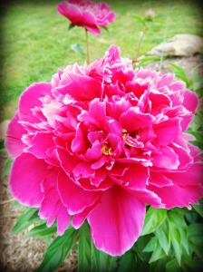 A Peony from my garden